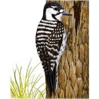 red-c-woodpecker