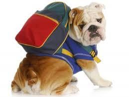 bulldog and backpack